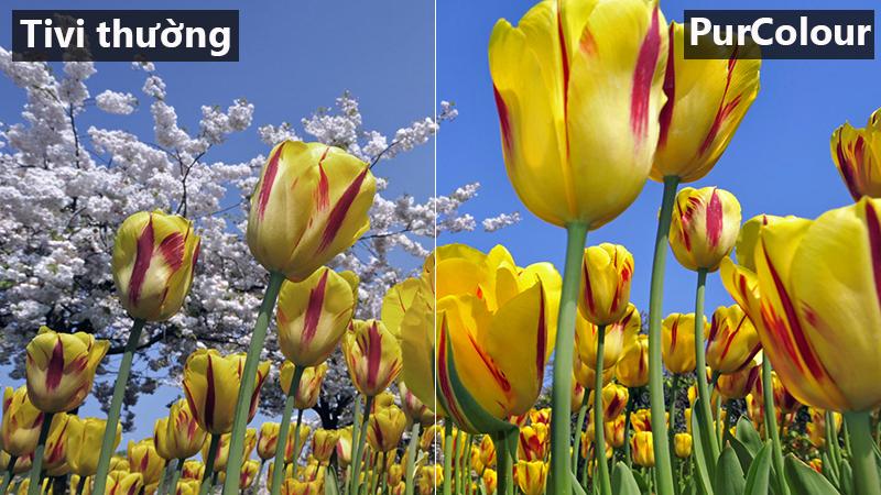 công nghệ hình ảnh purcorlor đem tới hình ảnh với màu sắc rực rỡ